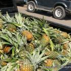 Fresh Pineapples For Sale, Dajabon, Dominican Republic